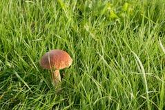 桦树蘑菇 图库摄影