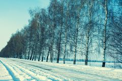 桦树行沿一条积雪的路的在冬天 免版税库存照片