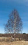 桦树被变矮小的忍受的偏僻的强大的结构树 免版税库存图片