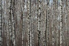 桦树计划 免版税库存图片