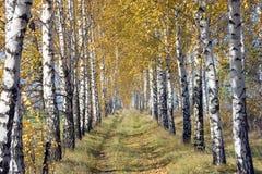 桦树路 免版税库存图片