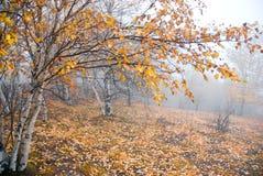 桦树金黄树丛薄雾 免版税库存照片