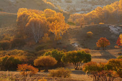 桦树金黄银 图库摄影