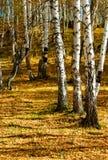 桦树银 库存图片
