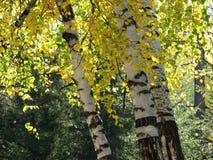 桦树银 图库摄影