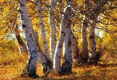 桦树银 库存照片