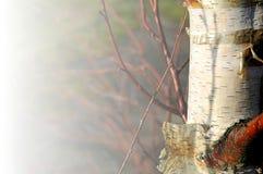 桦树银 免版税库存照片