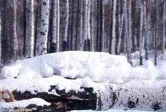 桦树雪结构树 免版税库存照片