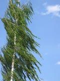 桦树风 库存照片