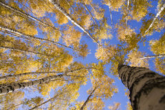 桦树黄色 免版税库存图片