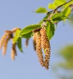 桦树黑色柔荑花 图库摄影