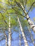 桦树,有年轻叶子的冲天火箭机盖树干  免版税库存图片