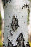 桦树:与黑条纹的白色树干 美丽的俄国树 库存图片