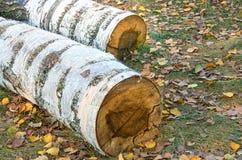 桦树击倒的树干  免版税图库摄影