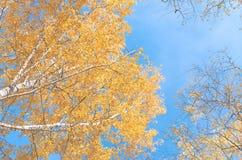 桦树黄色和红色秋叶  库存图片