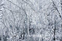 冻桦树 免版税库存图片