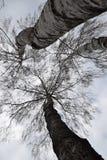 3桦树 库存照片