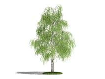 桦树 免版税库存照片