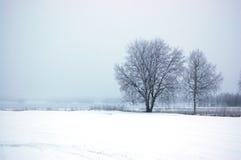 桦树 库存照片