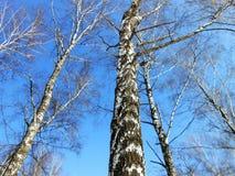 桦树truncks 免版税库存照片