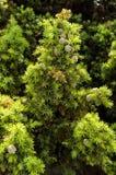 桧属drupacea (叙利亚杜松) 免版税库存图片
