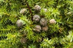 桧属drupacea (叙利亚杜松) 库存图片
