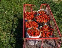 桶和碗在钢庭院推车的新近地摘的红色草莓在农田 免版税库存图片