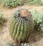 桶式仙人掌在沙漠 库存图片