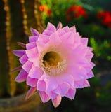 桶式仙人掌桃红色开花的花在Palmdale加利福尼亚 库存照片