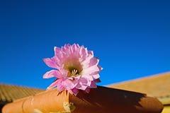 桶式仙人掌桃红色开花的花在Palmdale加利福尼亚 图库摄影