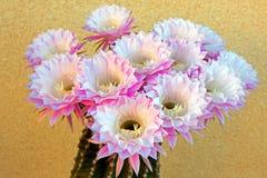 桶式仙人掌桃红色开花的花在Palmdale 库存照片