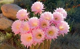 桶式仙人掌桃红色开花的花在Palmdale 免版税库存照片