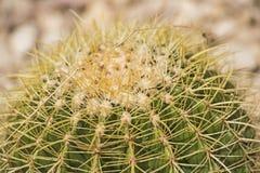 桶式仙人掌植物在一个干旱的沙漠庭院里 库存照片