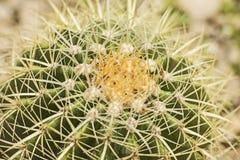 桶式仙人掌植物在一个干旱的沙漠庭院里 免版税图库摄影