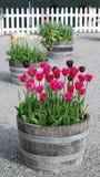 桶春天tulipses 库存图片