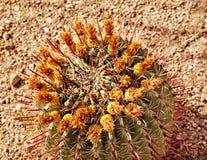 桶植物的仙人掌沙漠庭院 免版税库存照片