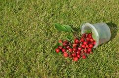 桶被采摘的樱桃 免版税图库摄影