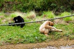 梅赫伦,比利时- 2016年5月17日:两只猴子在Planckendael动物园里 库存图片