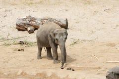 梅赫伦,比利时- 2016年5月17日:大象在Planckendael动物园里 免版税库存图片