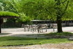 梅赫伦,比利时- 2016年5月17日:斑马在Planckendael动物园里 免版税库存照片