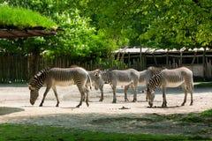 梅赫伦,比利时- 2016年5月17日:斑马在Planckendael动物园里 免版税图库摄影