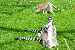 梅赫伦,比利时- 2016年5月17日:狐猴在Planckendael动物园里 库存照片
