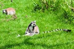 梅赫伦,比利时- 2016年5月17日:狐猴在Planckendael动物园里 免版税库存照片