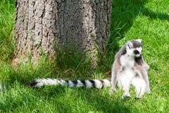 梅赫伦,比利时- 2016年5月17日:狐猴在Planckendael动物园里 库存图片