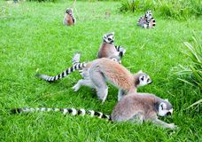 梅赫伦,比利时- 2016年5月17日:狐猴在Planckendael动物园里 图库摄影
