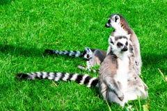 梅赫伦,比利时- 2016年5月17日:狐猴在Planckendael动物园里 免版税库存图片