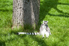 梅赫伦,比利时- 2016年5月17日:狐猴在Planckendael动物园里 免版税图库摄影