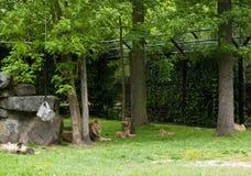 梅赫伦,比利时- 2016年5月17日:狮子家庭在Planckendael动物园里 免版税库存图片