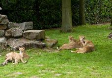 梅赫伦,比利时- 2016年5月17日:狮子家庭在Planckendael动物园里 库存图片