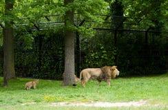 梅赫伦,比利时- 2016年5月17日:狮子家庭在Planckendael动物园里 免版税库存照片